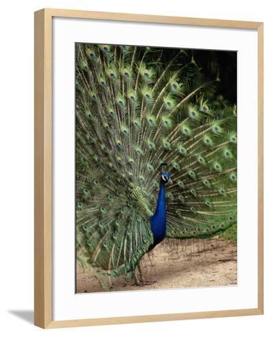 Male Peacock-Jerry Koontz-Framed Art Print