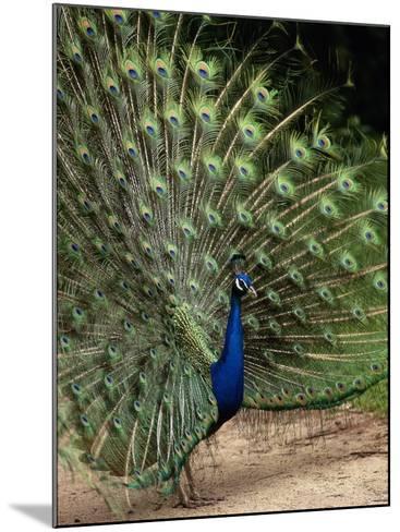 Male Peacock-Jerry Koontz-Mounted Photographic Print