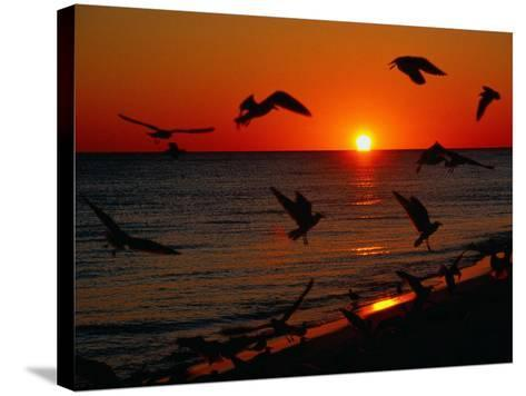 Seagulls FLying Over the Beach at Sunset, FL-Ken Glaser-Stretched Canvas Print