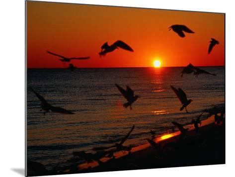 Seagulls FLying Over the Beach at Sunset, FL-Ken Glaser-Mounted Photographic Print