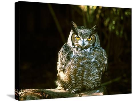 Great Horned Owl-Jerry Koontz-Stretched Canvas Print