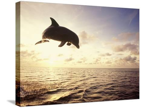 Bottlenose Dolphin Jumping Out of Water-Stuart Westmorland-Stretched Canvas Print