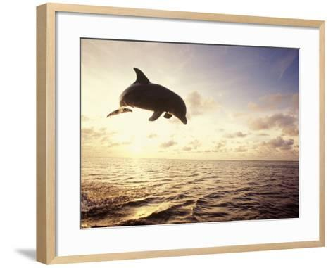 Bottlenose Dolphin Jumping Out of Water-Stuart Westmorland-Framed Art Print