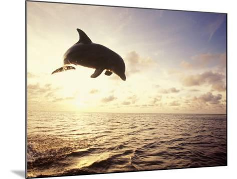 Bottlenose Dolphin Jumping Out of Water-Stuart Westmorland-Mounted Photographic Print