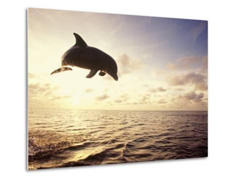Bottlenose Dolphin Jumping Out of Water-Stuart Westmorland-Metal Print