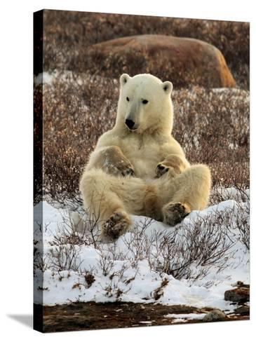 Polar Bear, Ursus Maritimus, Churchill, Manitoba-Yvette Cardozo-Stretched Canvas Print