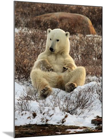 Polar Bear, Ursus Maritimus, Churchill, Manitoba-Yvette Cardozo-Mounted Photographic Print