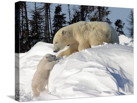 Two Month Old Cub and Mother Polar Bear-Yvette Cardozo-Stretched Canvas Print
