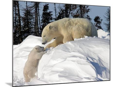 Two Month Old Cub and Mother Polar Bear-Yvette Cardozo-Mounted Photographic Print