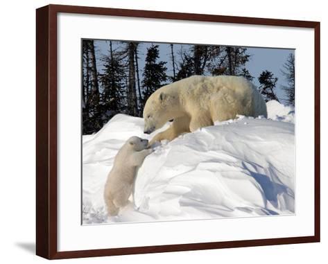 Two Month Old Cub and Mother Polar Bear-Yvette Cardozo-Framed Art Print