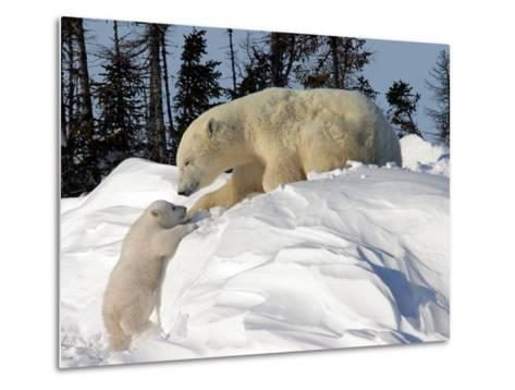 Two Month Old Cub and Mother Polar Bear-Yvette Cardozo-Metal Print