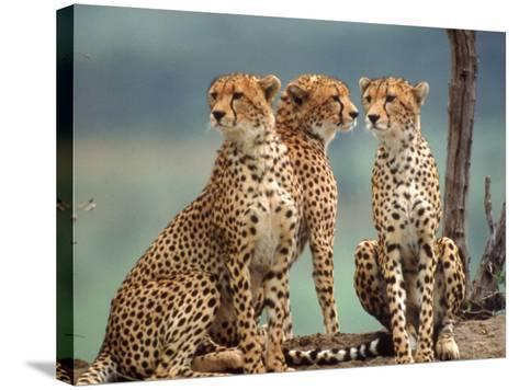 Africa, Cheetah in Kenya, Acinonyx Jubatus--Stretched Canvas Print