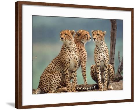 Africa, Cheetah in Kenya, Acinonyx Jubatus--Framed Art Print