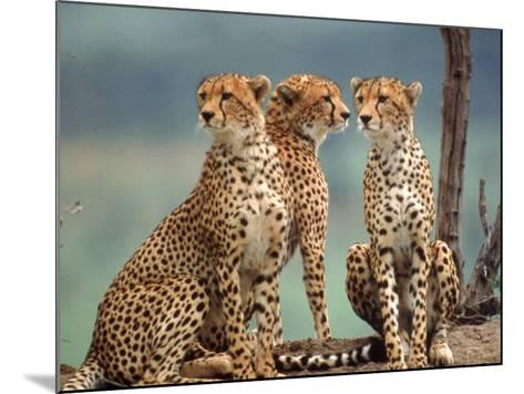 Africa, Cheetah in Kenya, Acinonyx Jubatus--Mounted Photographic Print
