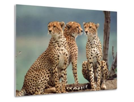 Africa, Cheetah in Kenya, Acinonyx Jubatus--Metal Print