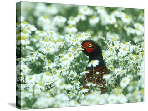Pheasant, Male in Mayweed, UK-Mark Hamblin-Stretched Canvas Print