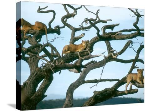 Lionesses in Dead Acacia Tree, Tanzania-Mary Plage-Stretched Canvas Print