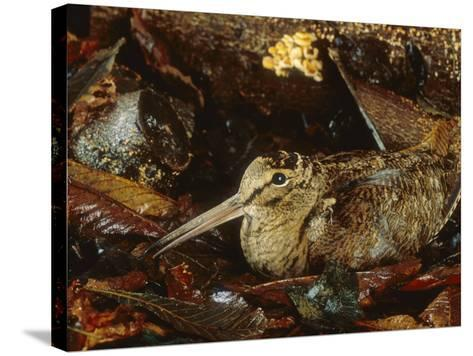 Woodcock, Sitting in Leaves, Aylesbury, UK-Les Stocker-Stretched Canvas Print