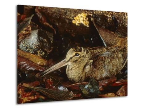 Woodcock, Sitting in Leaves, Aylesbury, UK-Les Stocker-Metal Print