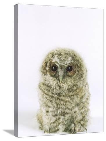 Tawny Owl, Young-Les Stocker-Stretched Canvas Print