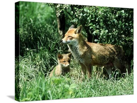 Fox, Vixen with Cub, Surrey-David Tipling-Stretched Canvas Print