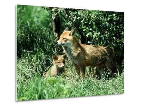 Fox, Vixen with Cub, Surrey-David Tipling-Metal Print