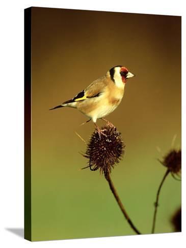 Goldfinch on Teasel, UK-David Tipling-Stretched Canvas Print