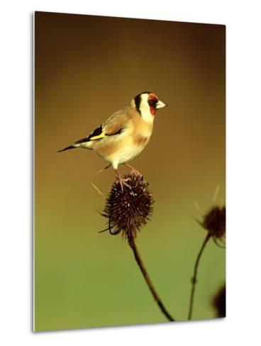 Goldfinch on Teasel, UK-David Tipling-Metal Print