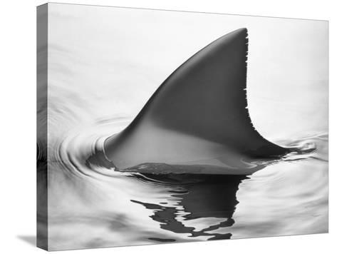 Shark Fin-Howard Sokol-Stretched Canvas Print