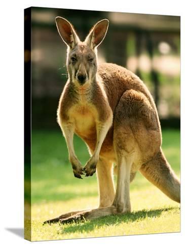 Australian Kangaroo-Peter Walton-Stretched Canvas Print
