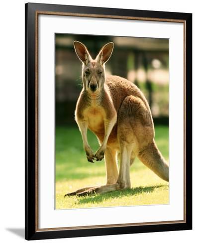 Australian Kangaroo-Peter Walton-Framed Art Print