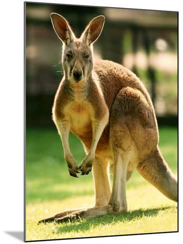 Australian Kangaroo-Peter Walton-Mounted Photographic Print