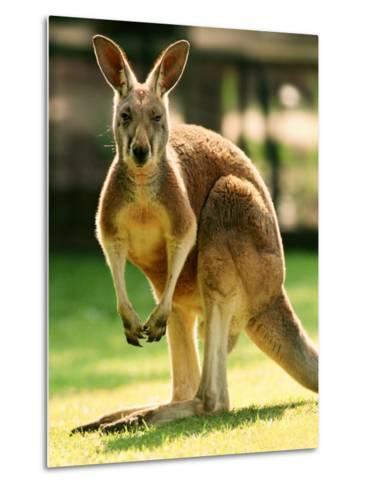 Australian Kangaroo-Peter Walton-Metal Print