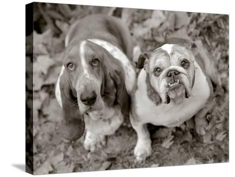 Two Dogs Looking Up-Gareth Rockliffe-Stretched Canvas Print