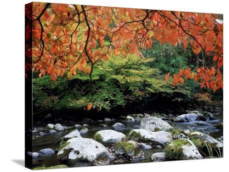 Dogwood in Fall Colour Over Middle Prong of Little River, USA-Willard Clay-Stretched Canvas Print