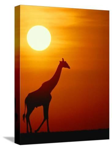 Silhouette of a Giraffe at Sunrise-Medford Taylor-Stretched Canvas Print