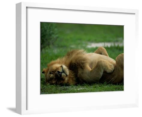 A Lion Rolls in the Grass-Beverly Joubert-Framed Art Print