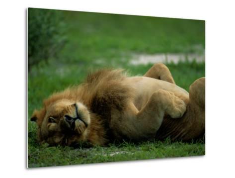 A Lion Rolls in the Grass-Beverly Joubert-Metal Print