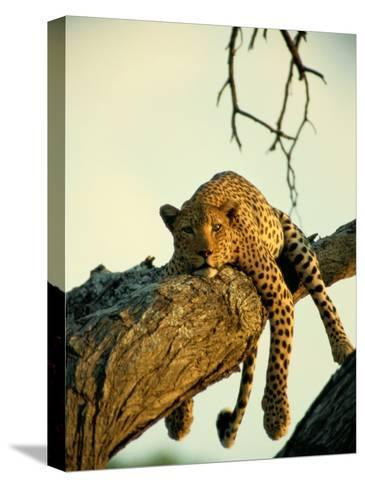 A Leopard Lounges in a Tree-Beverly Joubert-Stretched Canvas Print