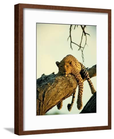A Leopard Lounges in a Tree-Beverly Joubert-Framed Art Print