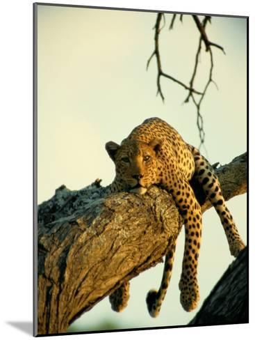 A Leopard Lounges in a Tree-Beverly Joubert-Mounted Photographic Print