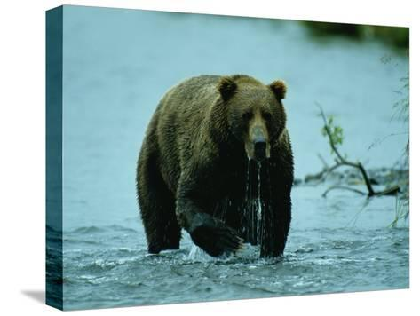 A Kodiak Brown Bear Emerges from the Water-George F^ Mobley-Stretched Canvas Print