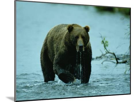 A Kodiak Brown Bear Emerges from the Water-George F^ Mobley-Mounted Photographic Print