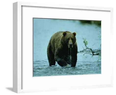 A Kodiak Brown Bear Emerges from the Water-George F^ Mobley-Framed Art Print
