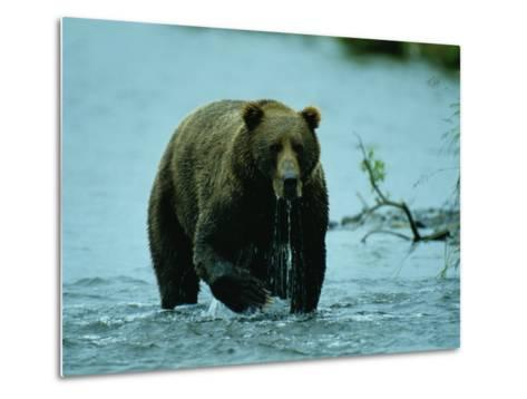 A Kodiak Brown Bear Emerges from the Water-George F^ Mobley-Metal Print