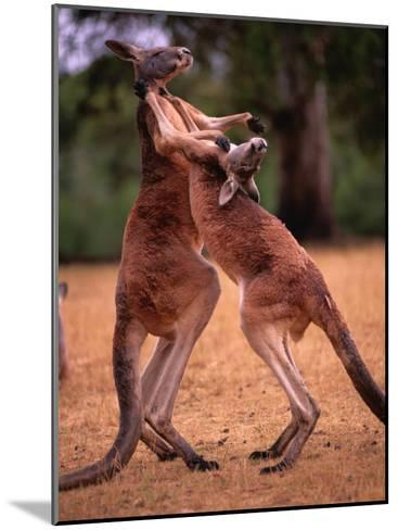 Two Kangaroos Spar with One Another-Medford Taylor-Mounted Photographic Print