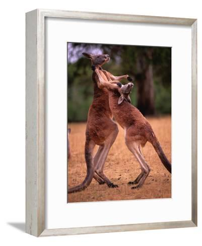 Two Kangaroos Spar with One Another-Medford Taylor-Framed Art Print