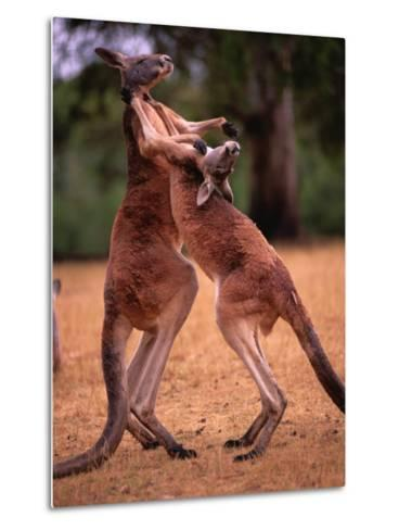 Two Kangaroos Spar with One Another-Medford Taylor-Metal Print