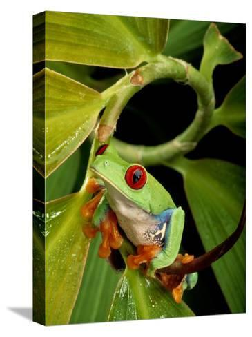 A Red-Eyed Tree Frog-George Grall-Stretched Canvas Print