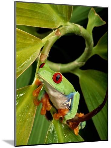 A Red-Eyed Tree Frog-George Grall-Mounted Photographic Print
